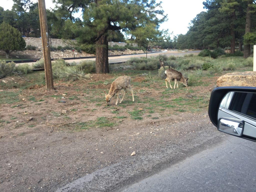 The locals came out to greet us at the Grand Canyon